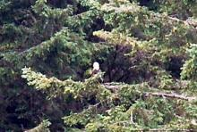 Bald Eagle in trees above the Cape Arago North Cove. Spotted at a distance. A bit fuzzy on account of digital zoom necessary to identify the bird.