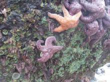 ochre seastar, breadcrumb sponge, leatherback chiton, green & aggregating anemones, coralline algae