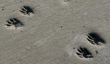 Tracks of a large raccoon in the soft sand