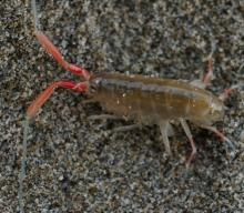 "Amphipod California Beach Hopper, about an inch long. These eat decaying kelp, and can burrow into moist sand probably faster than you can say ""<em>Megalorchestia californiana</em>""."