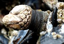 Gooseneck Barnacle, <em>Pollicipes polymerus</em>, on a mussel (as they typically are.) Note the small acorn barnacles colonizing one of the hard plates. The Gooseneck can move around, presumably to scrape competitors off the substrate.