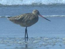 There was a small flock of Marbled Godwits feeding in the surfline.