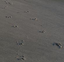 Large deer prints, just north of Fivemile Point