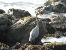 I think this guy lives in this area. I have a photo of another Heron from a previous visit. Maybe it's the same one?