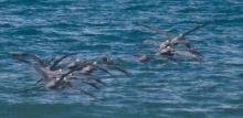 Brown Pelicans headed out to sea, showing how they tail-gate in flight.