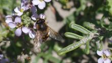 Some sort of bee taking advantage of Summer's last blossoms on European Searocket, <em>Cakile maritima</em>.