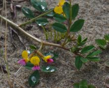 Bicolor <em>Lotus formosissimus</em>, very happy in sand/mud alongside a seep flowing into Tenmile Creek. The 1 cm yellow and purple blossom is easy to spot; also the compound leaves of five leaflets.
