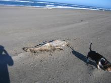 It appears that this carcass was male as the head has a sagittal crest that is prominent in male California Sea Lions.