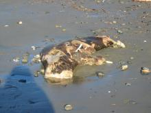 degraded, unidentified dead marine mammal.