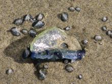 This small section of stranded by-the-wind sailors (Velella velella) shows the range of sizes involved.  Most are under 10 mm across.  The large one is about 30 mm, more than an inch, across.