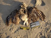 The measurements fit a spotted owl.  The breast plumage was not present.
