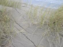 While this European Dune Grass is still in the foredune, the vertical crack lines indicate it will soon be on the beach.  There are many large clumps of European Dune Grass on the beach today.