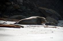 Juvenile Sea Lion. Cape Arago, North Cove