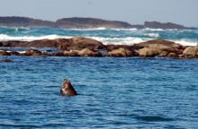 Cape Arago, North Cove. This Sea Lion sat almost unmoving for the hour or so we were in the north cove.