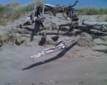 Foredune appeared to have covered a driftwood shelter some time ago.  Recent erosion exposed it.  Estimated erosion from previous visits is 8-12 feet.