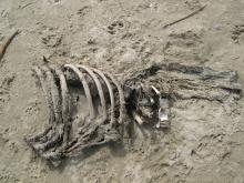 Bones of, I think, a seal.