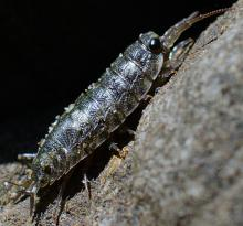 Same Isopod individual as previous photo, this time a full-length profile.