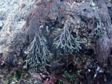 Codium fragile a native of Europe was introduced to New England in 1957 and has spread rapidly since