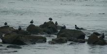 The Harlequin Ducks show up after the summer. These ones were rather far away so you can't see the lovely colors too well, but as you can see there was quite a large group of them on the rocks.