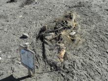 Possibly the same carcass that's been on the beach since June.  It is, however, located further north than the original location, so it could be a different carcass.