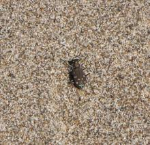 Oregon Tiger Beetle (Cicindela oregana oregana)was found along the wrack line and on the northern bank of the New River.