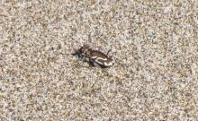 This Pacific Coast Tiger Beetle (Cicindela bellissima) was found near the mouth of New River and in the wrack line on Mile 96.