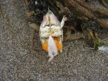 Note the orange egg mass on this dead sand crab.