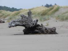 This driftwood moose is closer to the foredune now.