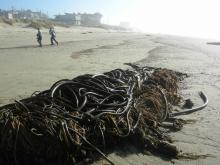 Several Large Masses of Bull Kelp recently deposited on the beach.