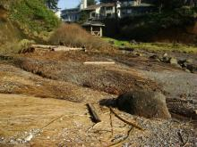 Woody material, kelp and matted grass indicating high surf/tide within Little Whale Cove