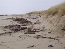 Photo shows recent erosion of foredune and the abundance of kelp on the beach in the driftline.