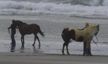 First time I've seen horses on this beach. These two were brought in a trailer.