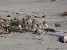 Least Sandpipers blend right in with the driftwood and it is easy to overlook them from a distance.