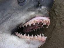 This shows the rows of teeth of this shark.