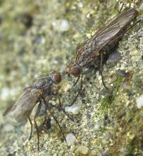 These two kelp flies, probably <em>Coelopidae</em>, were on a rock near high-tide line. [Should be viewed at full size.]
