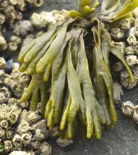 A small rockweed,Little Rockweed, <em>Pelvetiopsis limitata</em>, longest blades about 3 inches long.