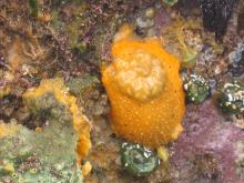 One of many sea slugs found on Oregon Coast