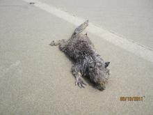 California Gray Squirrel (Grey Digger?) found at water line at start line area of State Park