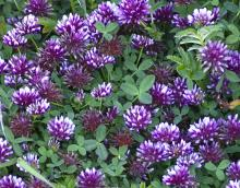 Trifolium wormskioldii in its prime