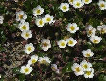 A patch of <em>Fragaria chiloensis</em>