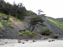 The tree was dropped to the beach by a large landslide along the south portion of Mile 20.