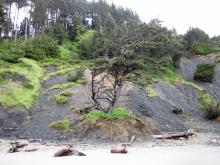 This is another look at the tree that was dropped to the beach by the landslide.