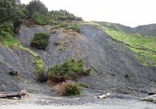 This whole hillside is slumping into the ocean and additional trees and bushes were brought down to the beach.