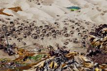 Aggregating Anemones in the sand at North Cove of Cape Arago.