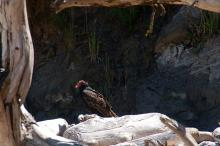Turkey Vulture on the beach in the North Cove at Cape Arago.