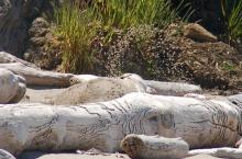 We might not have noticed this Northern Elephant Seal if it had not periodically thrown up sand to cover its body.