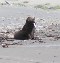 This California Sea Lion had a fish lure in his mouth.  He looked thin to us. This has been reported to the Marine Mammal Stranding Network.