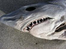 This shows the teeth that are narrow and so distinquish it from its relative, the Great White Shark.