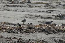 We saw three Wandering Tattlers on the beach today.