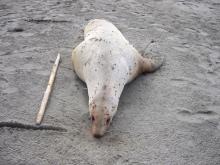 dead sea lion